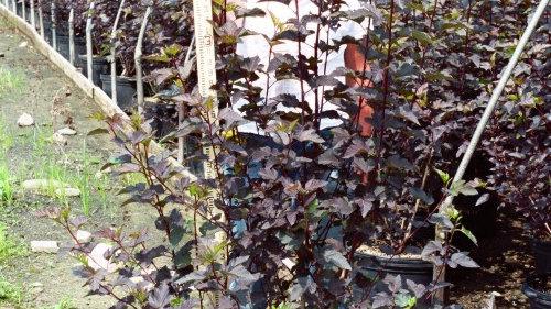 Physocarpus opulifolius 'Monlo' (PP 11,211) DIABOLO(R) NINEBARK