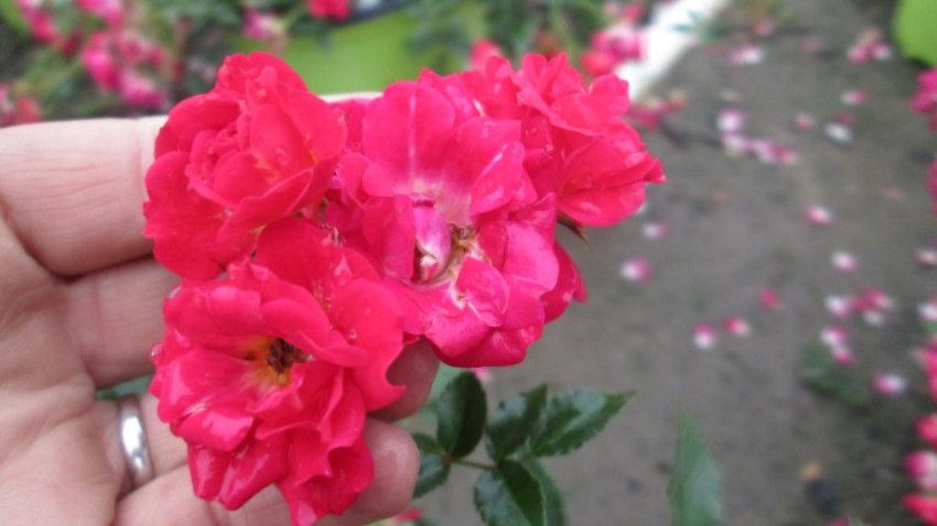 Rosa 'Meigalpio' (PP17,877) RED DRIFT® ROSE
