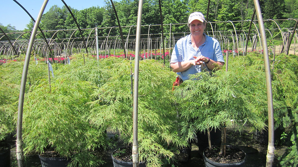Acer palmatum dissectum 'Waterfall' WATERFALL LACELEAF JAPANESE MAPLE