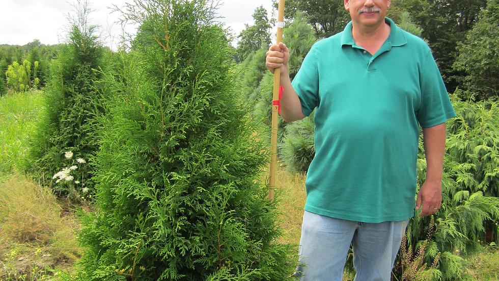 Thuja occidentalis 'Hetz Wintergreen' HETZ WINTERGREEN ARBORVITAE
