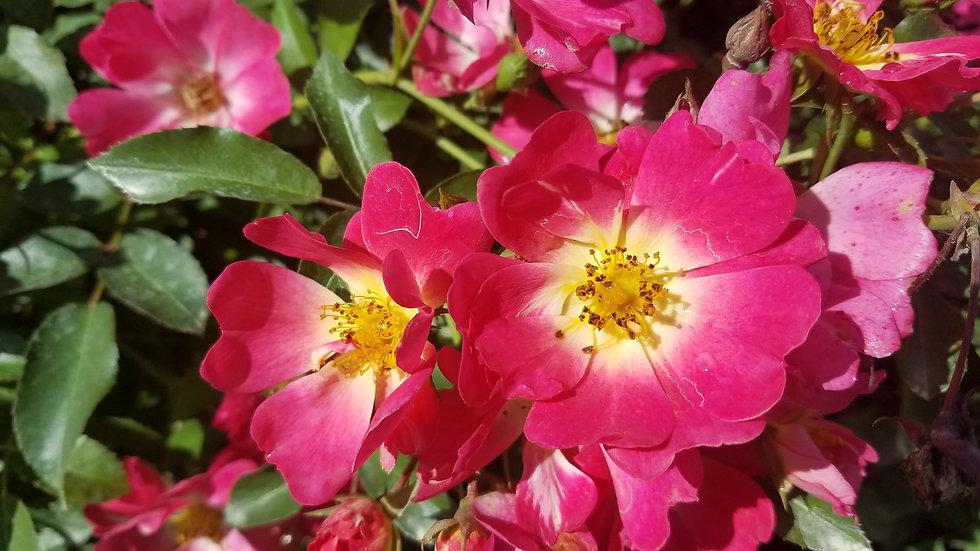 Rosa 'Meijocos' (PP 18,874) PINK DRIFT(R) ROSE