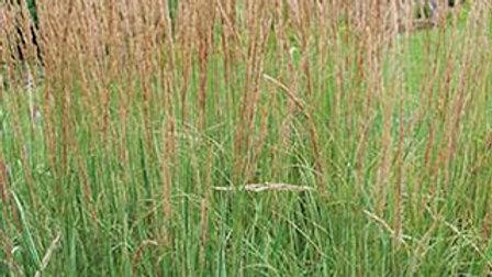 Calamagrostis x acutifolia 'Karl Foerster' KARL FOERSTER'S FEATHER REED GRASS