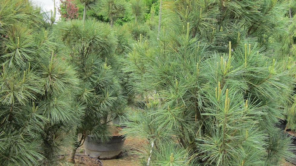 Pinus strobus fastigiata COLUMNAR EASTERN WHITE PINE