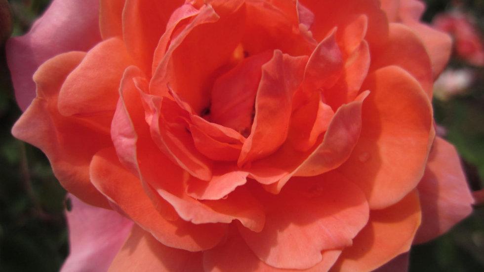 Rosa 'Meidrifora' (PP19,148) CORAL DRIFT(R) ROSE