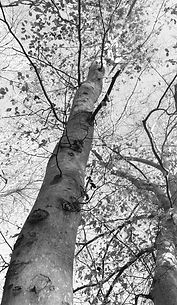 z top of the beech tree.jpg