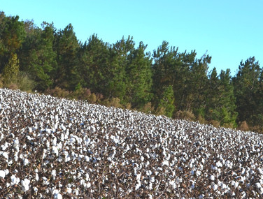 Enjoying the cotton while you can