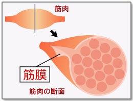 筋肉の断面図|筋膜の説明図