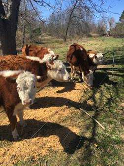 Butterfly Farm - Cows