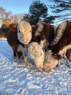 Butterfly Farm - Cows Snow