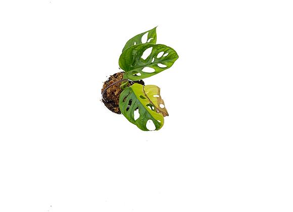 Monstera adansonii variegata aurea 008
