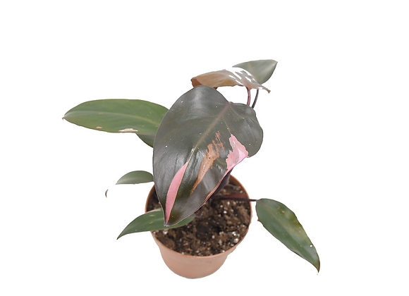 Philodendron Pink Princess 014