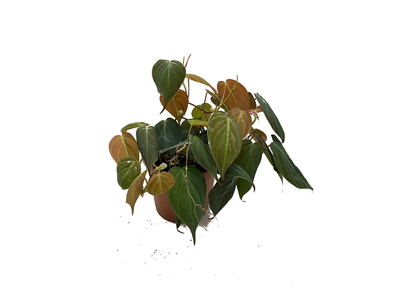 Philodendron Mican
