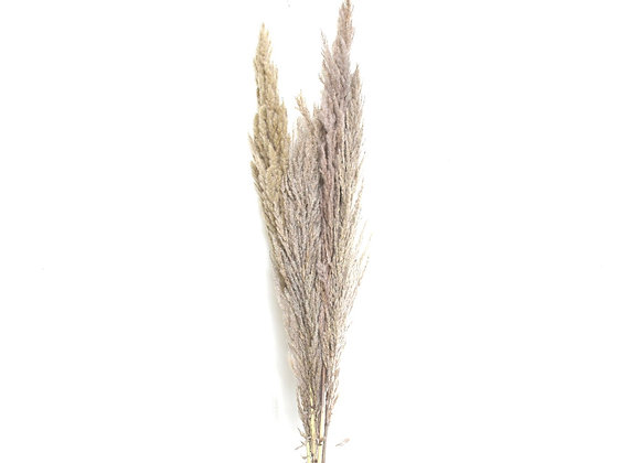 Dried Pampas Grass Nature