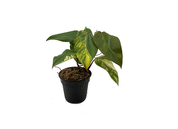 Philodendron Strawberry Shake 001