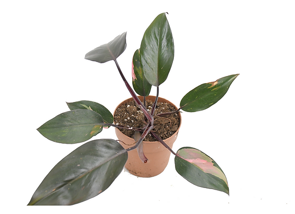 Philodendron Pink Princess 001