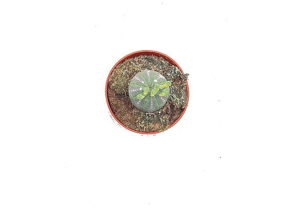 Euphorbia Obesa Baseball