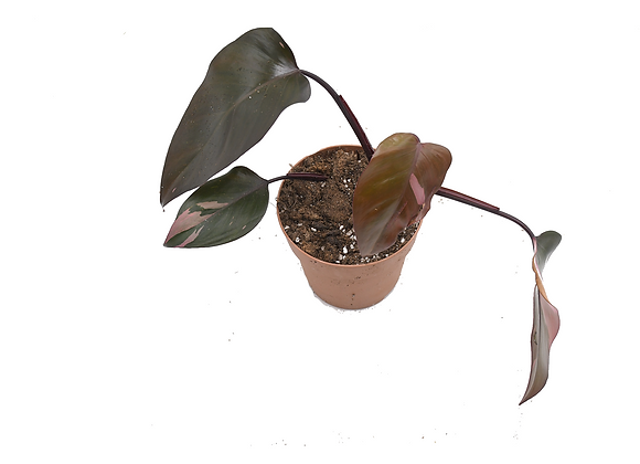 Philodendron Pink Princess 020