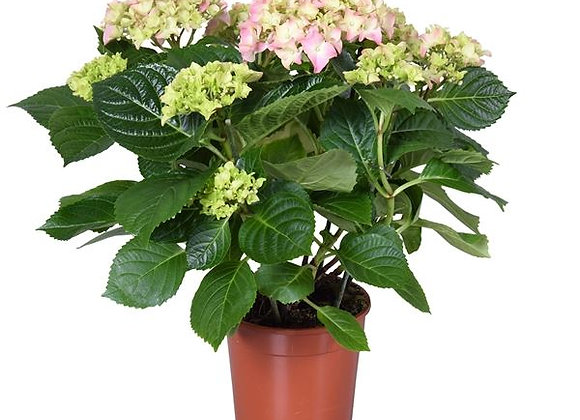 Huge Hydrangea Assorted Color INSTOCK