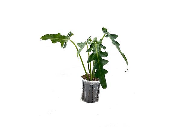 Philodendron Bob Cee