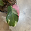Thumbnail: Philodendron White Princess 111201