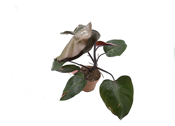 Philodendron Pink Princess 011