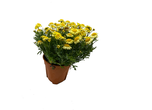 Aster Sunny Yellow