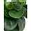 Thumbnail: Peperomia Red Canyon
