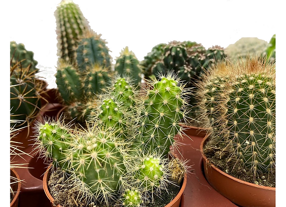 Cacti Combo Pack