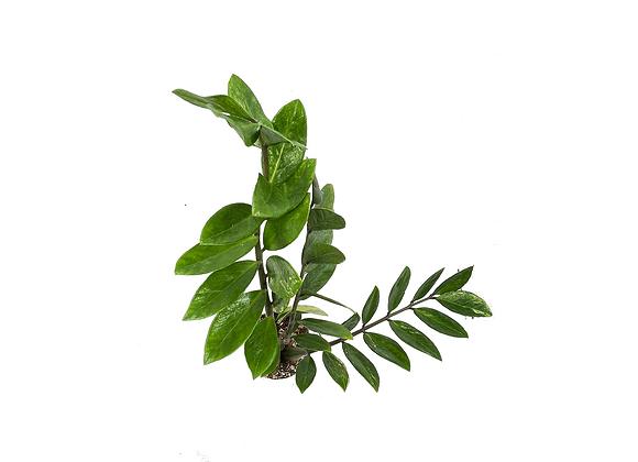 Zamioculcas zamiifolia 006