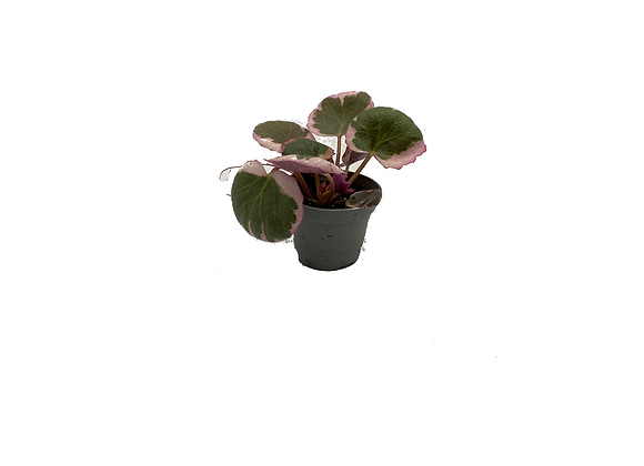 Saxifraga strawberry variegata