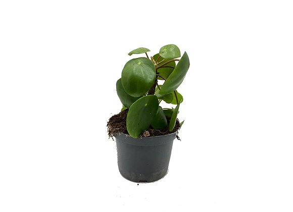 Pilea Peperomioides with stem