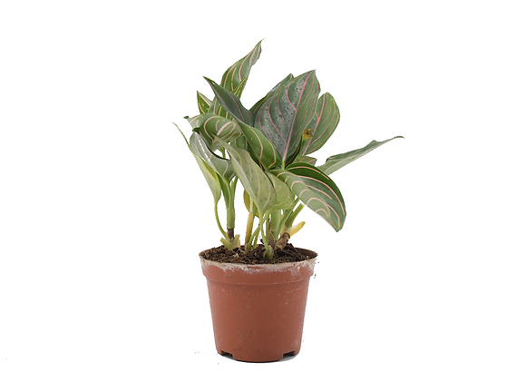 "Aglaonema ""Red Vein"""