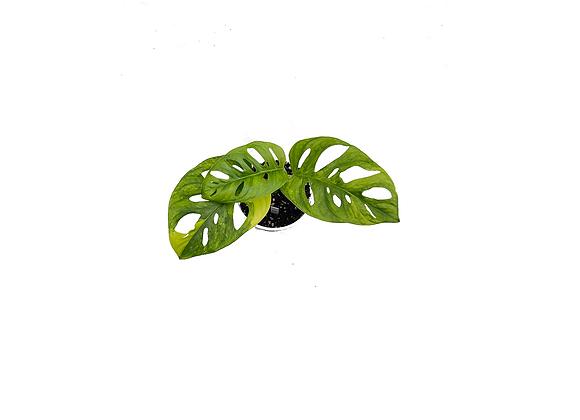 Monstera adansonii variegata aurea 006