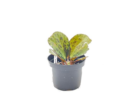 "Begonia blancii ""molted"
