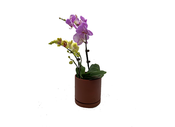 Assorted 2 in 1 Phalaenopsis Arrangement in Pastel Brown Holder