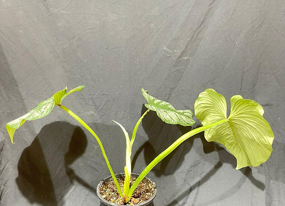L Philodendron Mamei 003
