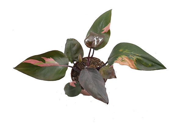 Philodendron Pink Princess 019