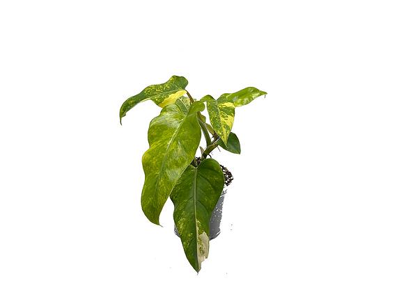 Philodendron Domesticum Variegata 004