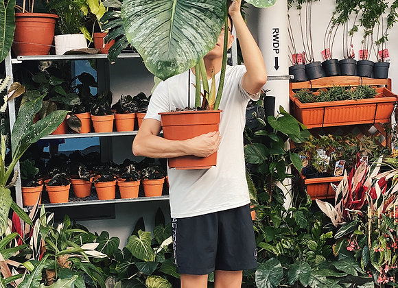 XL Philodendron Mamei
