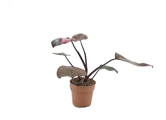 Philodendron Pink Princess 002