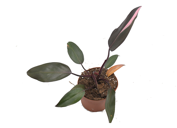 Philodendron Pink Princess 006