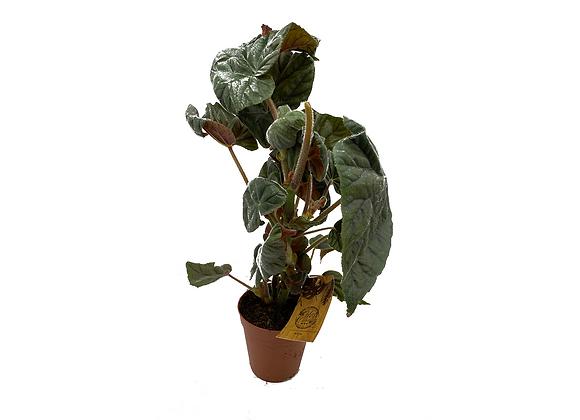 Begonia Oldemore
