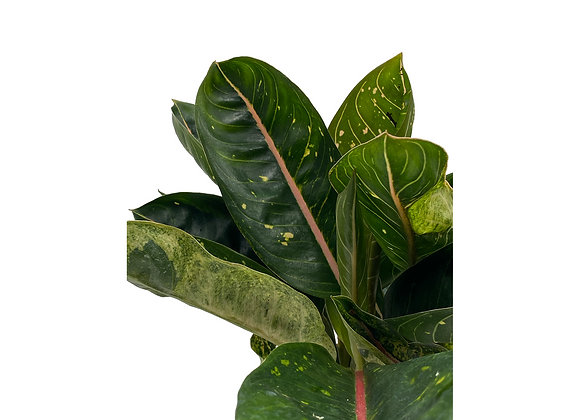 Aglaonema Pink Moon