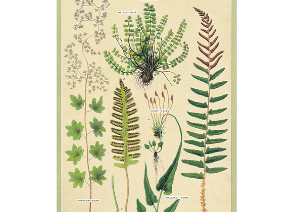 FERNS Greeting Cards
