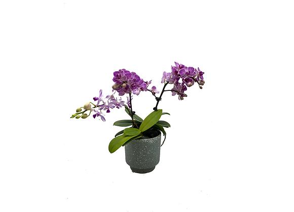 Assorted 2 in 1 Phalaenopsis Arrangement in Yellow Terrazoo