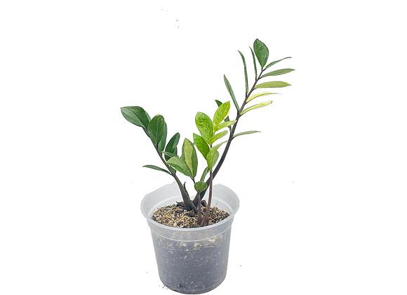 Zamioculcas zamiifolia 001