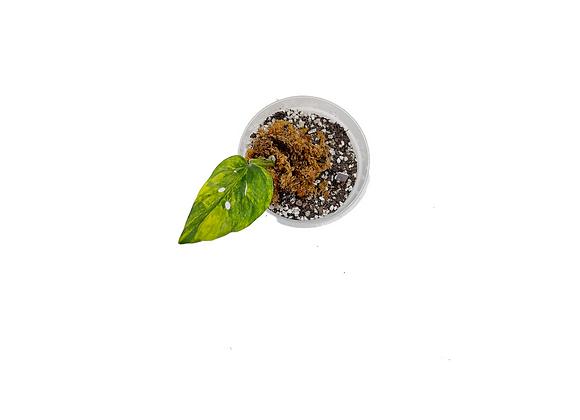 Monstera adansonii variegata aurea 011