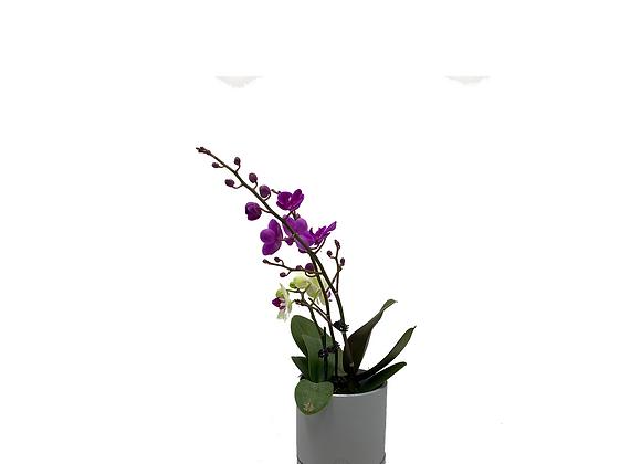 Assorted 2 in 1 Phalaenopsis Arrangement in Pastel Grey Holder