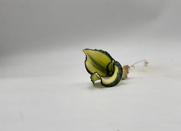 Sansevieria golden wendy