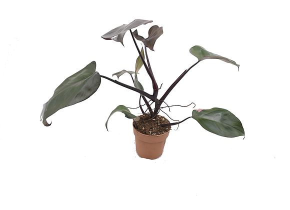 Philodendron Pink Princess 004